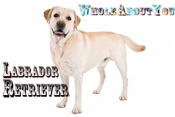 Breed Of Labrador retriever