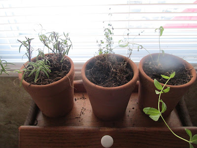 An Update on my Garden Herbs for January