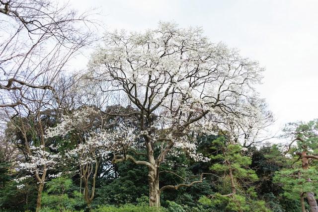 六義園(文京区)のコブシ