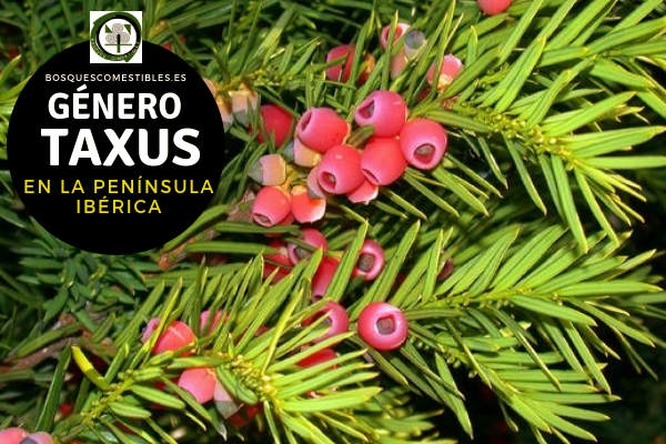 Lista de especies del Género Taxus, Tejos, Familia Taxáceas en la Península Ibérica.