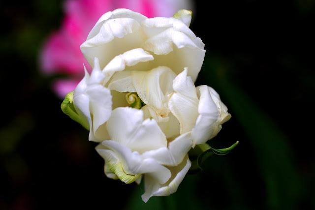 цветок тбльпана
