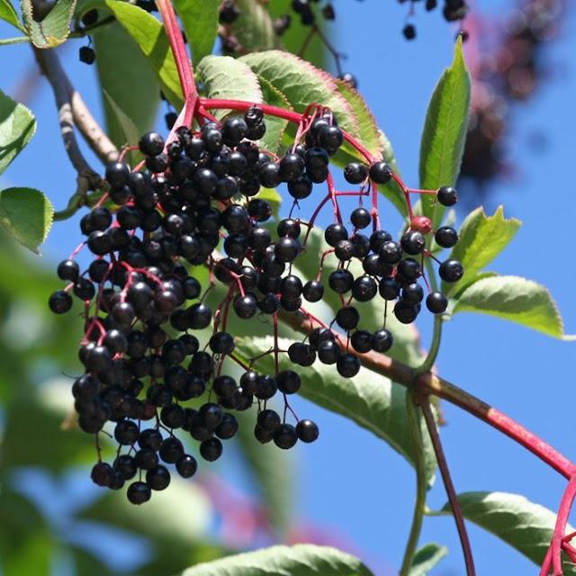 Svarthyll med modne bær