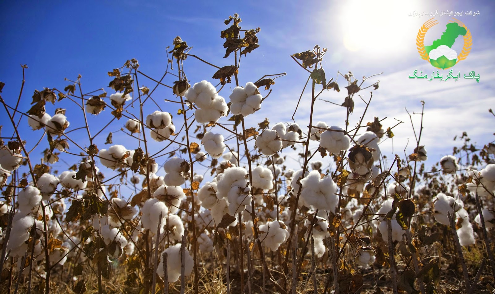 Approved varieties of cotton for 2014 in Pakistan