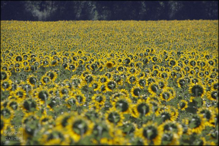 girasoles,campo,cuenca,fotografia,flores,limites