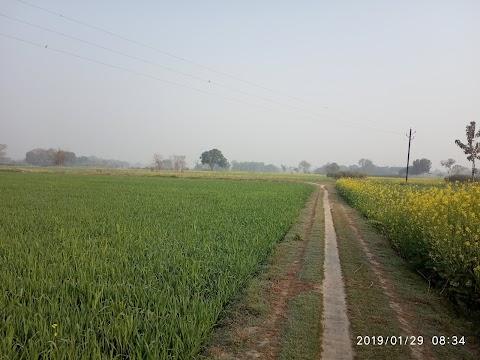 Village wheat plant pic
