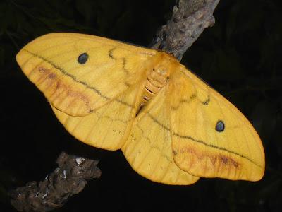 Maltagorea auricolor male Tagoropsis leporina