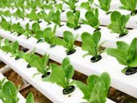 Cara menanam tanaman hidroponik yang baik dan benar