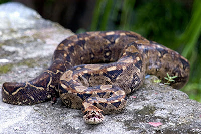 Ampalagua Boa constrictor