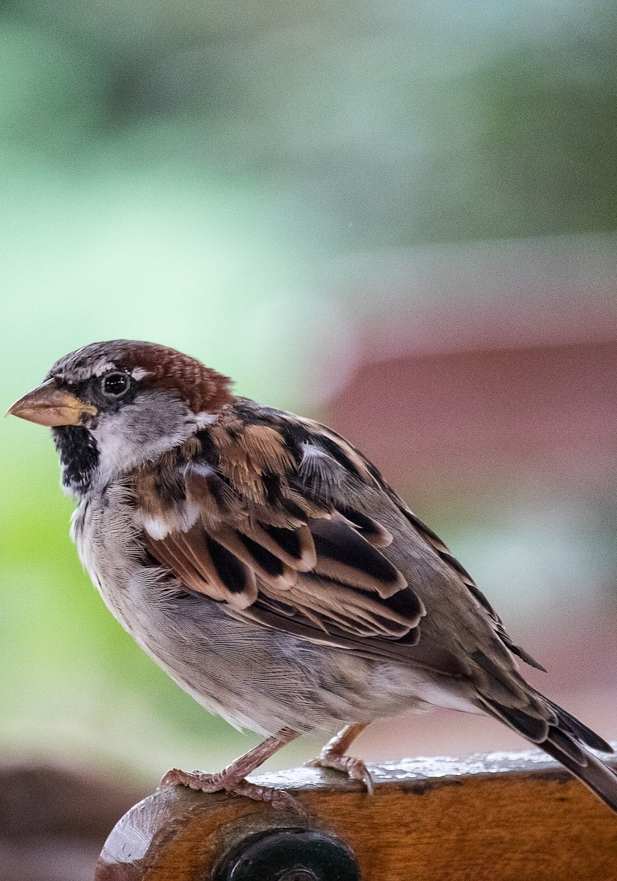 Picture of a sparrow bird up close.