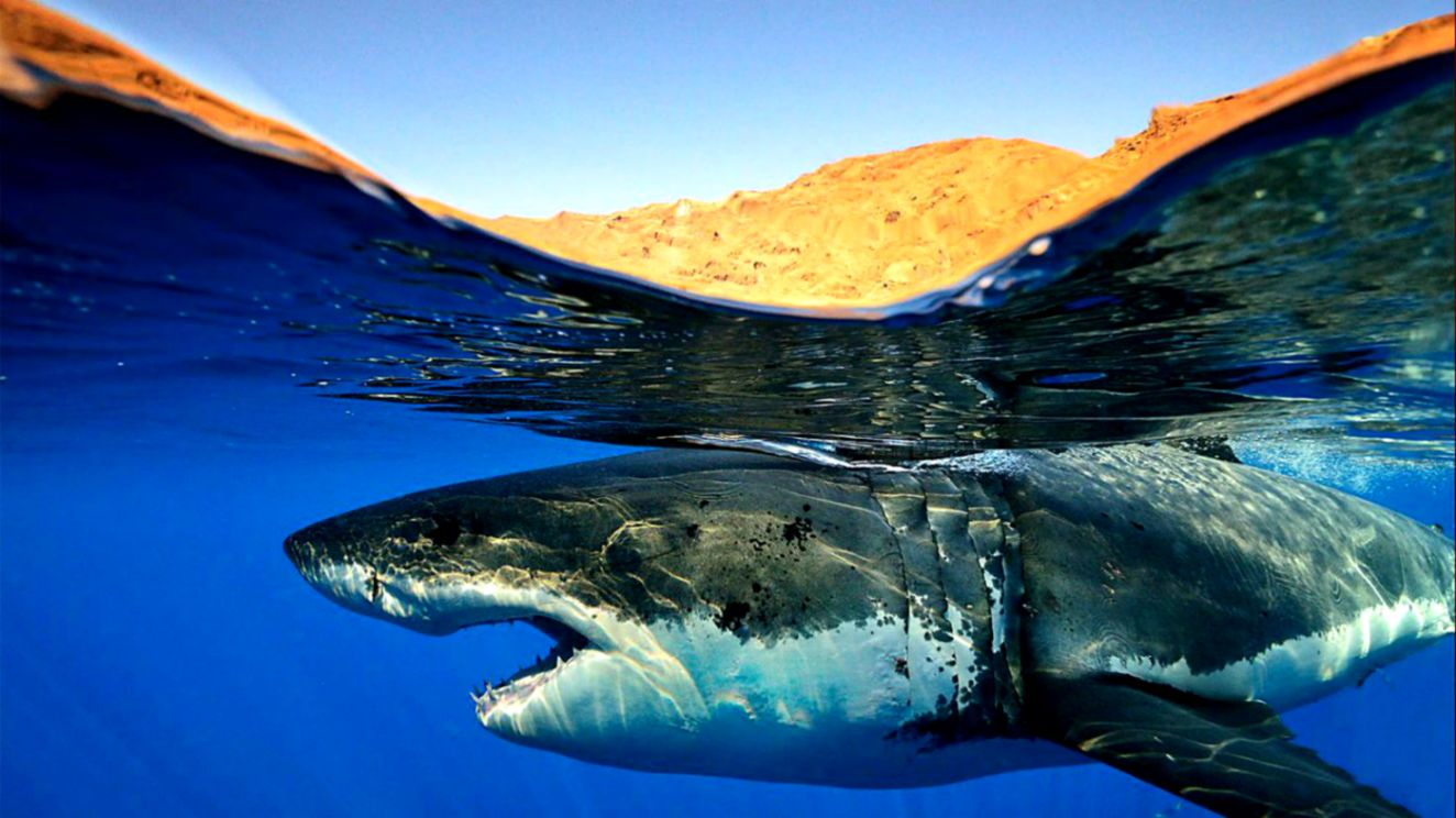 Shark Wallpaper and Background Image 1472x800 ID310158