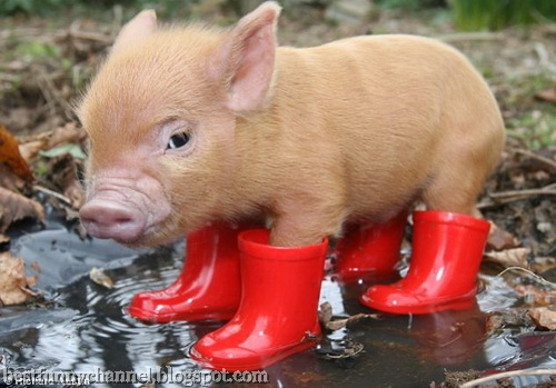 Pig in shoes