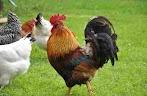 Ciri Ciri Dari Ayam Arab