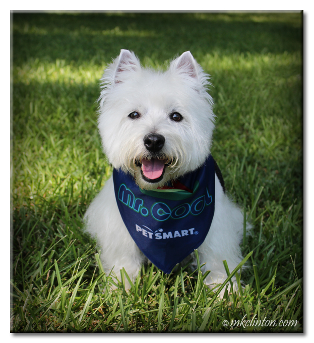 Pierre Westie looking fur-bulous after his PetSmart grooming
