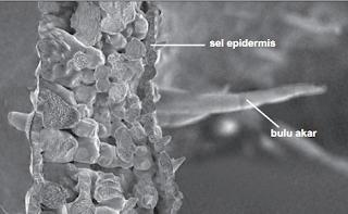 Ciri-ciri jaringan epidermis