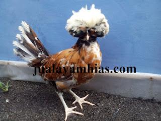 Ayam Poland Dewasa