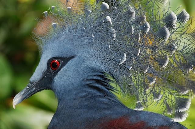 O Pombo-coroado goura victoria, é uma ave grande, cerca de 74 centímetros de comprimento e pesando até 2,5 kg, pombo-cinzento azulado com laço azul elegante como cristas, peito marrom e íris vermelha. O pássaro pode ser facilmente reconhecido pelas pontas brancas em suas cristas. Ambos os sexos são semelhantes.