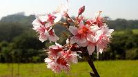 Flor de cerejeira no Bosque das Cerejeiras no Parque do Carmo