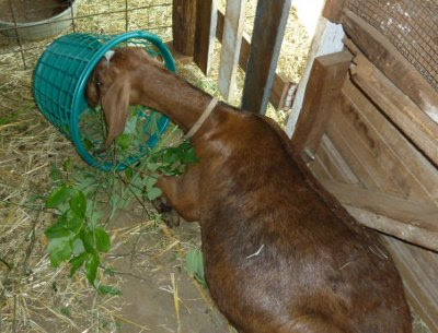 Jasmine lying down & eating a basketful of foraged greens