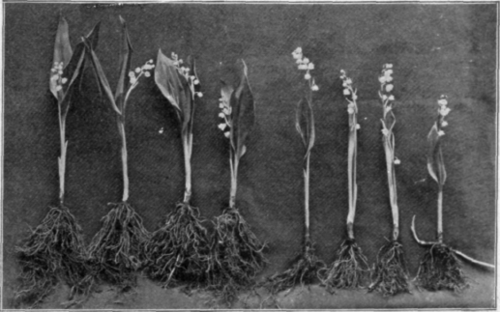 1910 Lily Of The Valley Plants From A Florist Show Some Variation Not All Garden Dug Pips Will Produce Flowers But Most Larger Pip