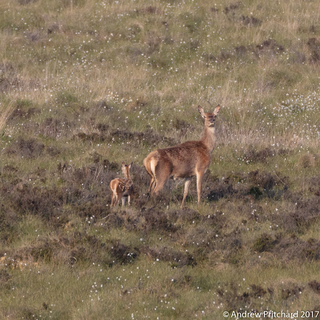 A hind with new born in tow, walking carefully amongst the moorland cotton grass.