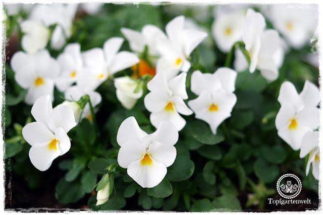 Gartenblog Topfgartenwelt Ostern: weiße Hornveilchen als Blumendeko