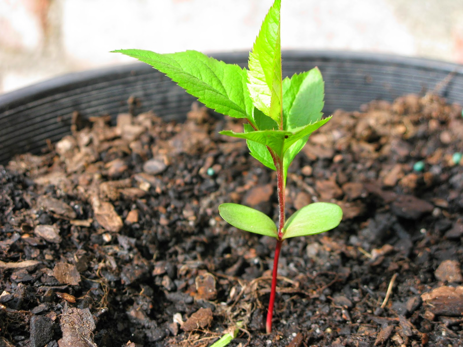 How to grow an apple tree from seed the garden of eaden for Tree sapling