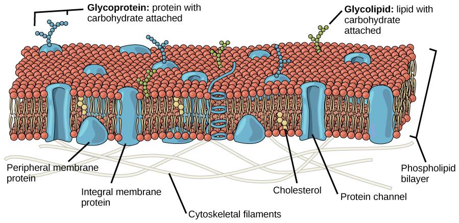 Plazmine membrana