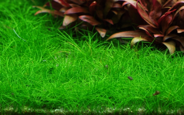 Ngưu Mao Chiên được trồng làm nền thảm cỏ bể cá thủy sinh mini