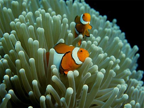 Clownfish Food Diet
