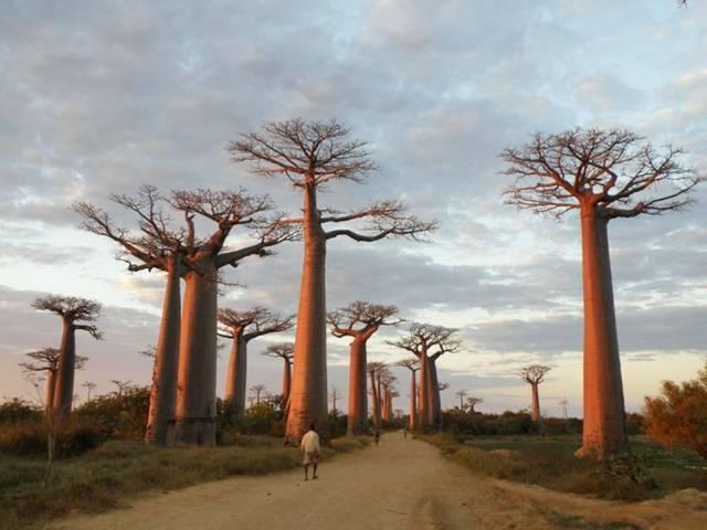 Blue Eyed Ennis The Baobab Tree And Faith