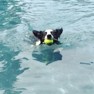 Border collie Luna swimming at Houston's Rummy's Beach Club for dogs