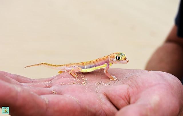 Gecko en Sandwich Harbour, Namibia