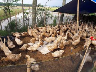 Usaha ternak bebek petelur menghasilkan uang setiap hari