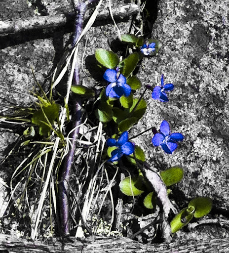 Violets on The Menunkatuck Trail
