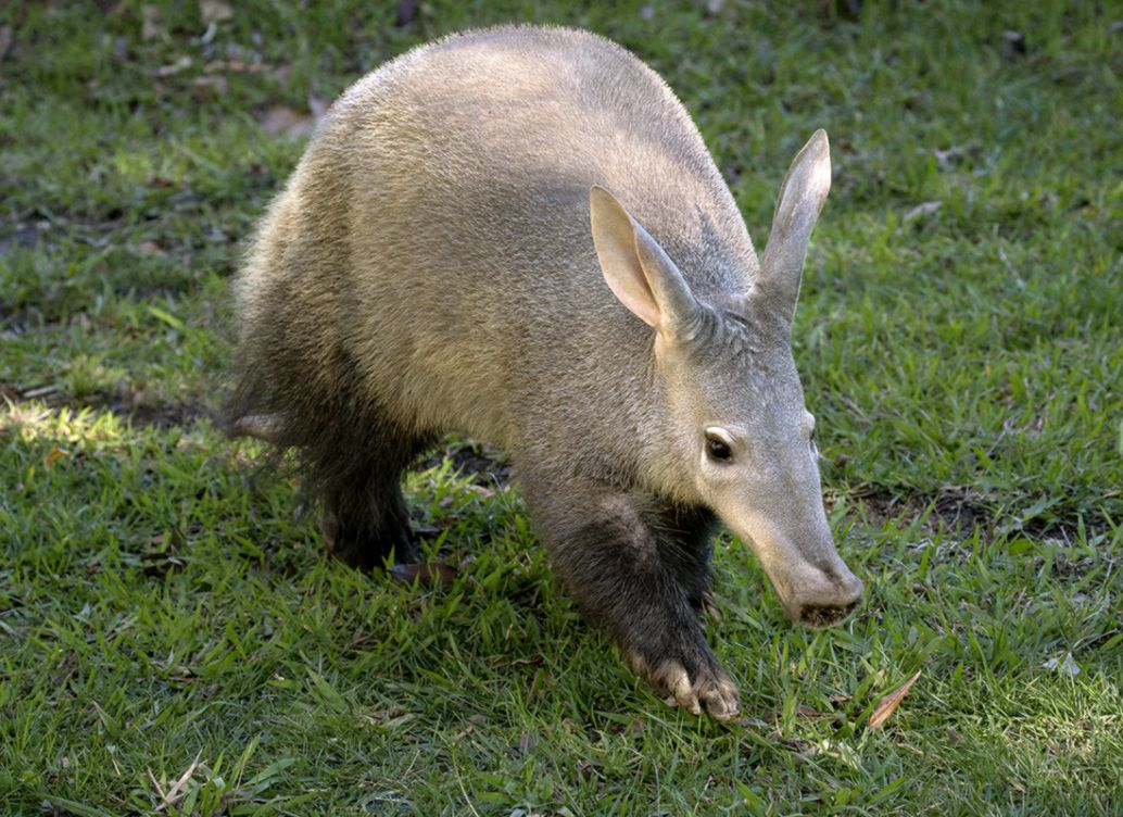 Aardvark Wallpapers High Quality Download Free