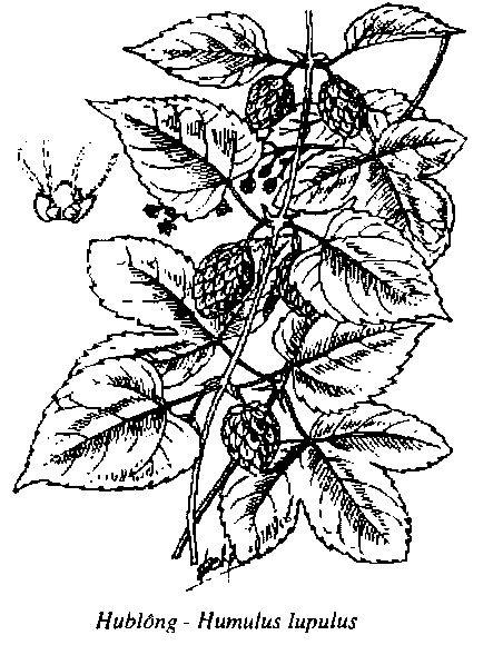 Hình vẽ Hublông - Humulus lupulus - Nguyên liệu làm thuốc Chữa Bệnh Tiêu Hóa