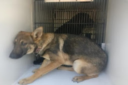 Nobody want her....still listed. 6-months-old darling german shepherd dog shutdown completely
