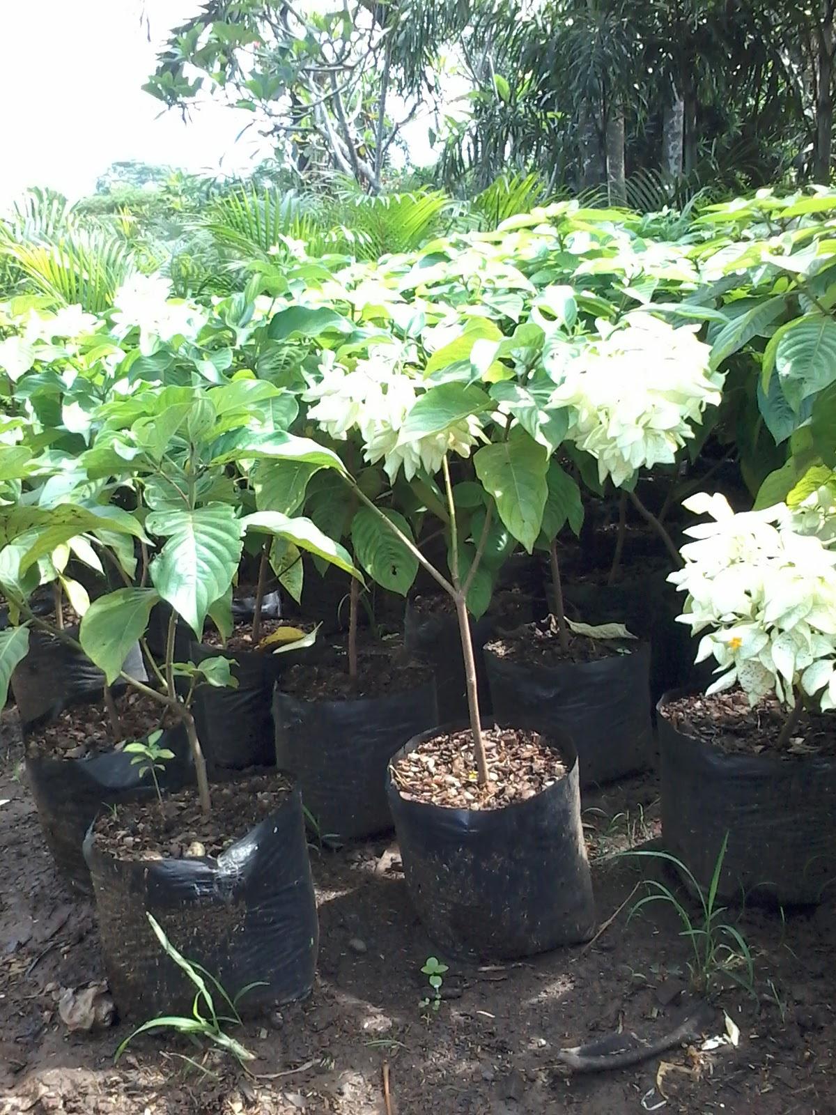 Tanaman Bunga Nusa Indah Informasi Seputar Tanaman Hias