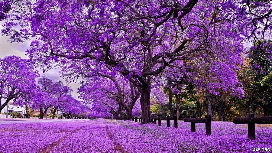hoa phượng tím rơi rụng như trải thảm