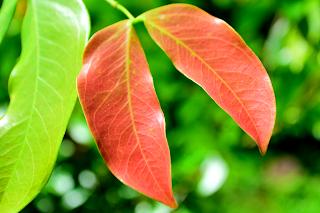 Guapinol Leaves