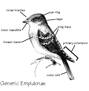 Empidonax Flycatcher diagram showing ID features
