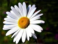 Beyaz ve büyük bir papatya çiçeği