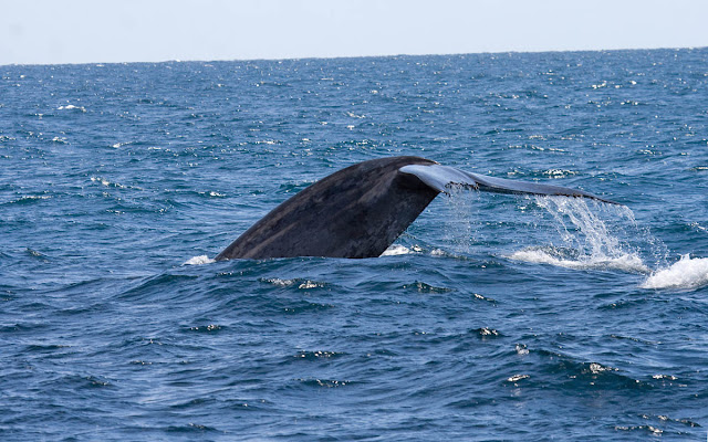 Blue Whale off San Diego