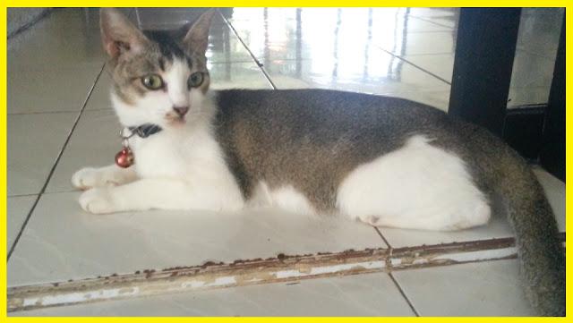 Ras Kucing Asli Indonesia
