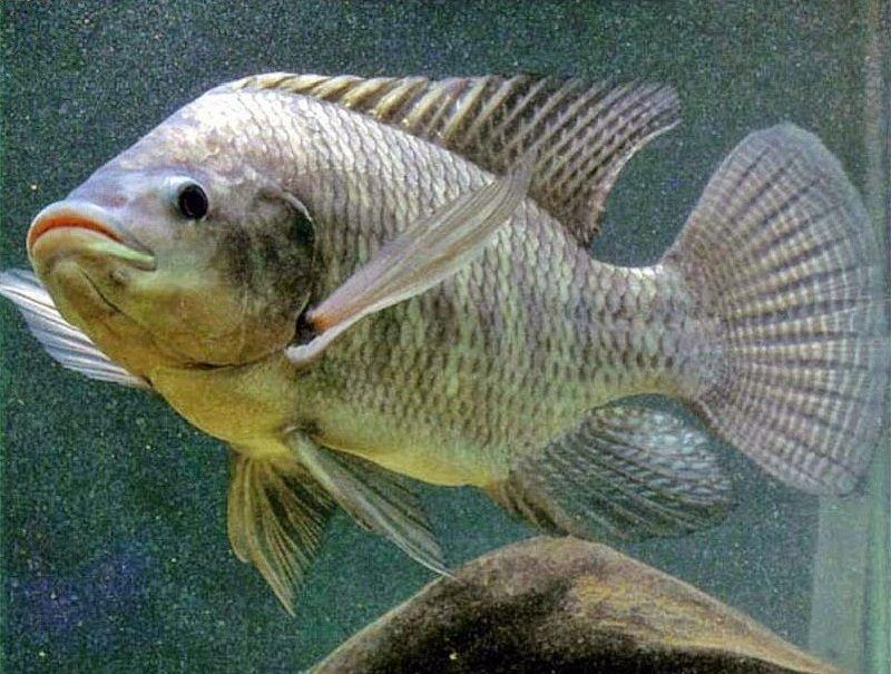 Umpan Ikan Mujair