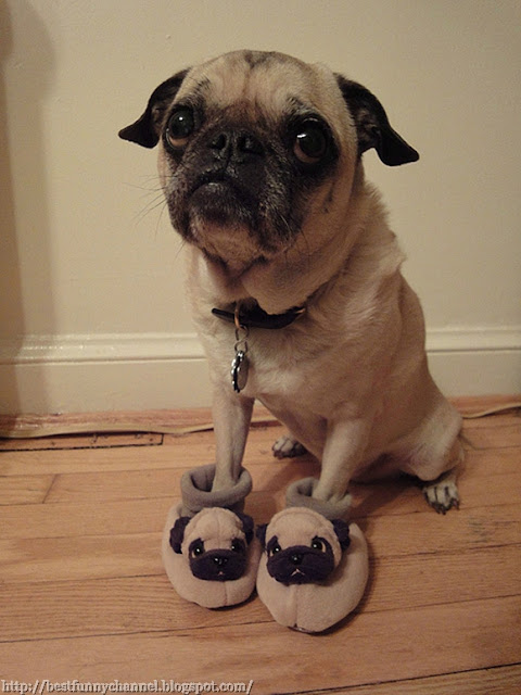 Funny dog in slippers