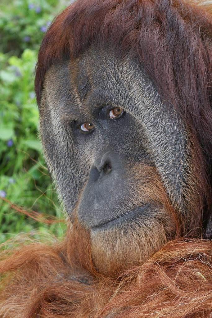 orangutan+flange+flanged+male+9.jpg