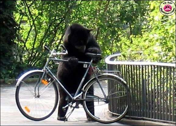 Juan the spectacled bear escaped the Berlin Zoo pen and stands on hind legs to examine a bike. 2004. The Zoo Houdinis and other stories. marchmatron.com