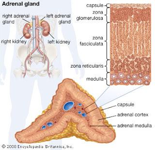 Kelenjar adrenal Disorder