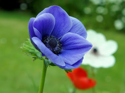 https://3.bp.blogspot.com/-ODnHfJuXxUM/WGpifookKSI/AAAAAAAAIkA/c0Jomo0Y4PAC-Wiwy-4_h_Y5MUH_2u1KQCLcB/s640/Niebieskie%2Bkwiaty%2B-%2Bzawilec.jpg